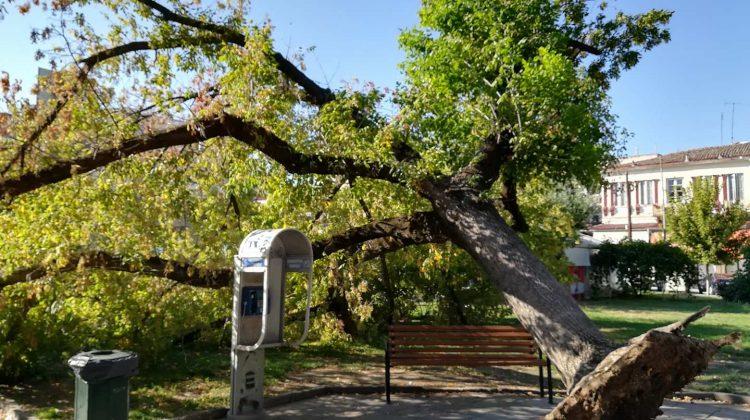 Αιωνόβιο δέντρο ξεριζώθηκε από μόνο του στην Κεντρική Πλατεία των Τρικάλων